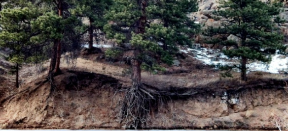 Forest soil under lodegpole pine in Lyons, Colorado. Photo courtesy of Andrea Borkenhagen, 2013.