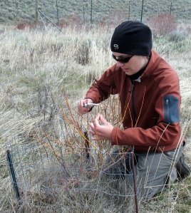 Dr. Kristin Marshall measuring willow stems in Yellowstone National Park.