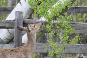 White-tailed deer foraging within a fenced yard.