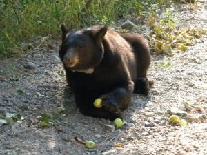 Black bear foraging on apples in Missoula, Montana.  Photo credit: D. Leparko