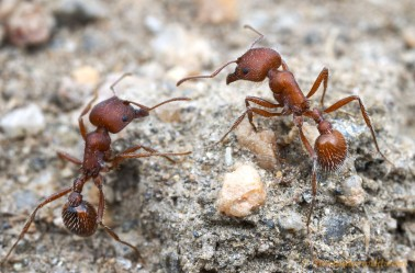The ant: study species of choice. Photo Credit: Alex Wild